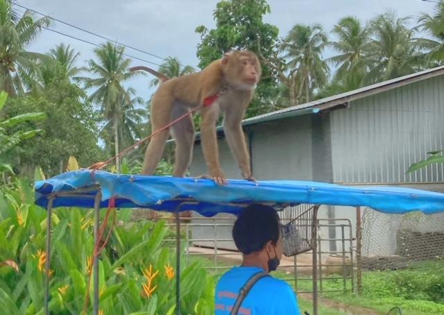 Blog Thailand Affe Saläng Kokosnuss ernten